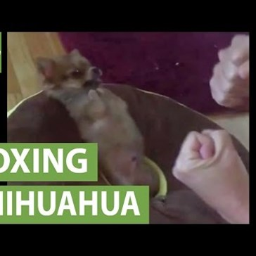 This Tough Little Chihuahua Can Really Throw a Punch