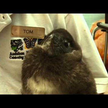 Raising a Baby Penguin!