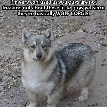 The Swedish Vallhund