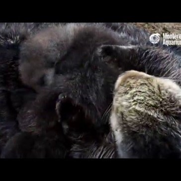 Wild Sea Otter Mom And Pup!