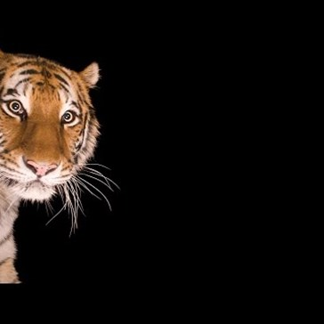 The Surprising Way To Make A Tiger Pose For The Camera