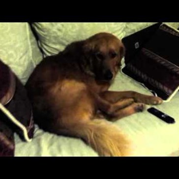 It's Winter and This Stubborn Golden Retriever Knows Where the Comfiest Spot is to Hibernate