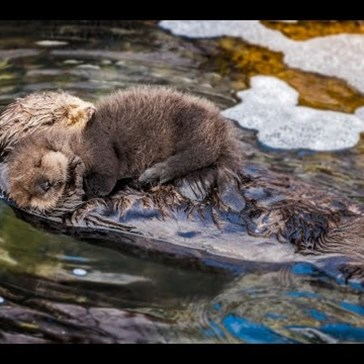 Watching This Baby Otter Cuddle Its Mama Will Be the Cutest Thing You Do All Day