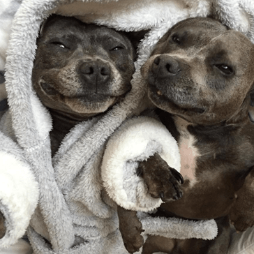 These Staffy Brothers Are the Cutest Dog-Children Ever