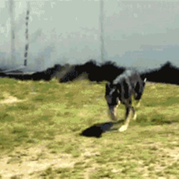 This Dog is Better Than You at Jumping Rope