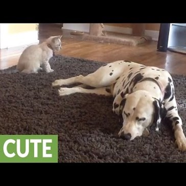 Kitten Can't Convince Dalmations to Play