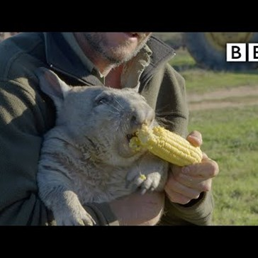 Angry Wombat Eats Corn and Farts on Camera