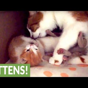 Mama Kitty Cuddles Her Adorable Newborn Kittens