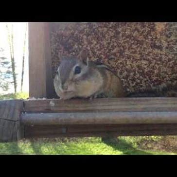 Chipmunk Gets Caught Taking Birdseed and Promptly Returns All of It