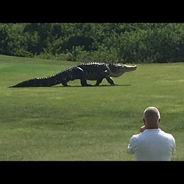 A Florida Golf Course Is Home to a Giant Alligator, and Apparently That's Totally Normal