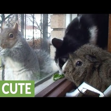 Friendly Cat and Guinea Pig Try to Befriend Squirrel Through a Window