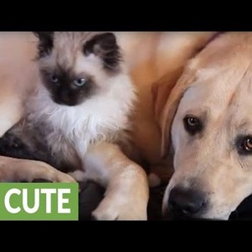 Watch a Kitten Cuddle Up to a Dog for Some Snuggles