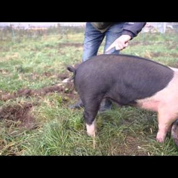 Learn How to Straighten a Pig's Tail in One Easy Step