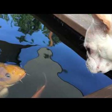 This Koi Fish and French Bulldog Are Like the Romeo and Juliet of the Animal World