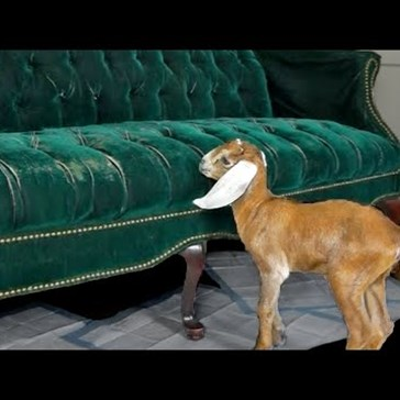 Baby Goats Learn How to Climb and Jump on a Fabulous Couch