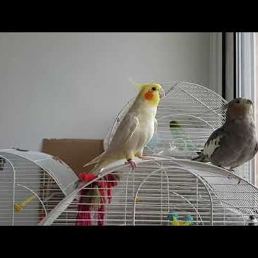 "This Cockatiel Is the Ultimate ""Game of Thrones"" Fan"