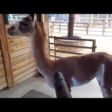 Fiesta the Llama's One True Love Is a Leaf Blower