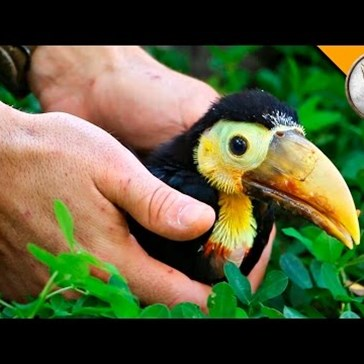 "Watch a Rescued Baby Toucan Eat ""Fruit Loops"" From a Spoon"
