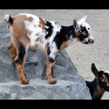 Meet Sugar and Spice, Point Defiance Zoo's New Nigerian Dwarf Goats