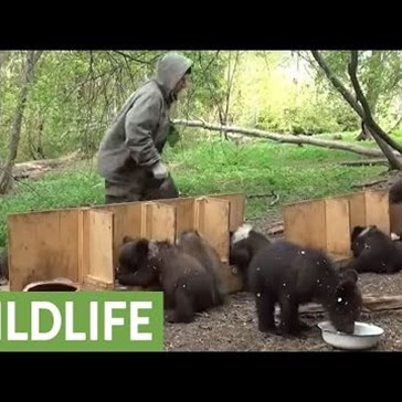 It's Feeding Time for These Rambunctious Orphaned Bear Cubs