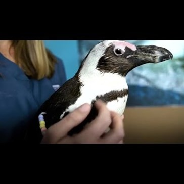 Middle School Students Used 3D Printer Technology to Help a Penguin Walk Again