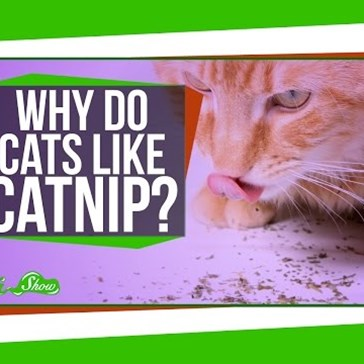 SciShow Host Olivia Gordon Explains Why Cats Love Catnip so Much