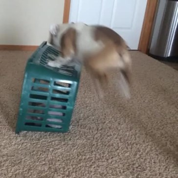 Hazel the Bulldog Gets Outsmarted By a Laundry Basket