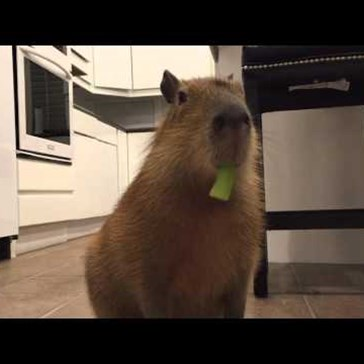 Sweetie the Capybara Loves Eating Celery