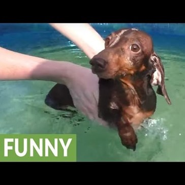 Adorable Dachshund Doesn't Seem Too Happy About Learning to Swim