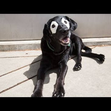 Black Lab With Vitiligo Is Helping Teach Kids That Different Is Beautiful