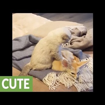 Cat Gives Fennec Fox a Much Kneaded Massage