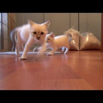 "Rambunctious Foster Kittens Do the ""Scary Cat Dance"""