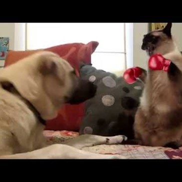 Cat vs dog boxing smackdown (after effects)