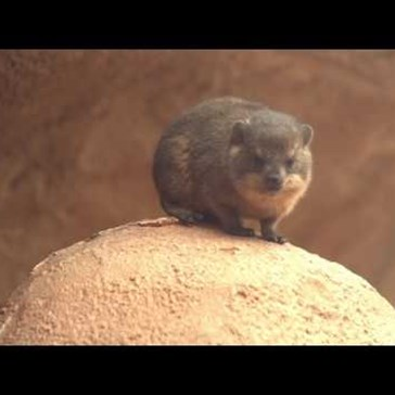 Four Rock Hyrax Pups Recently Made Their Adorable Debut at the Chester Zoo