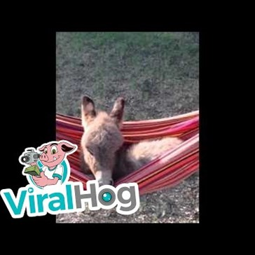 Miniature Donkey Enjoys a Relaxing Afternoon in a Hammock