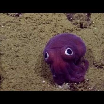The Googly-Eyed Stubby Squid Is Proof That Not Everything That Lives in the Ocean Is Scary