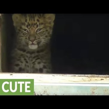 Amur Leopard Cubs Make Their Adorable Debut at the Twycross Zoo
