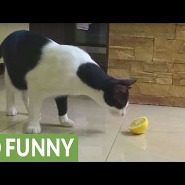 Cat Could Not Be More Confused About What to Do With a Lemon