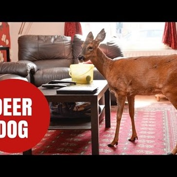 Bramble, the Deer, Thinks He's a Dog