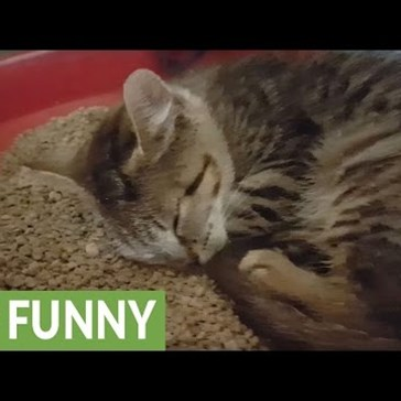 Snoring Kitten Falls Asleep in Her Litter Box and Makes the Cutest Noises