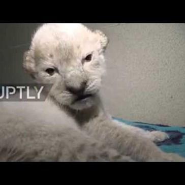 Rare Albino Lion Cubs Were Born at a Safari Park in Russia