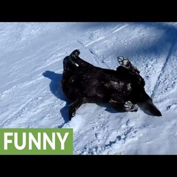 Labrador Has the Time of His Life Sliding Belly First Down the French Alps