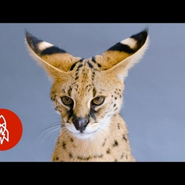 "Cool Cat of the Day: The Serval, or ""Giraffe Cat"""