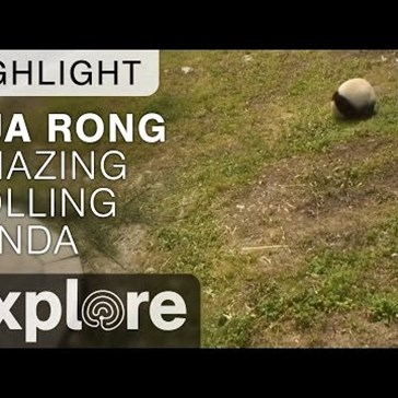 Playful Panda Loves Rolling Down a Grassy Hill