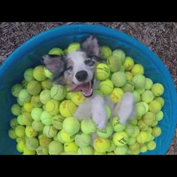Happy Dog Fulfills His Lifelong Dream of Swimming in Tennis Balls