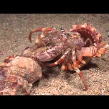Watch This Cool Footage of a Hermit Crab Changing Shells and Taking His Buddies Along With Him
