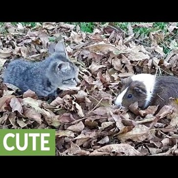 Kitten and Guinea Pig Have an Adorable Play Date in a Pile of Leaves