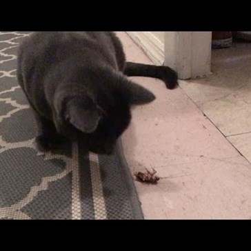 Guy Hilariously Cheers on His Cats as They Try to Catch a Cockroach