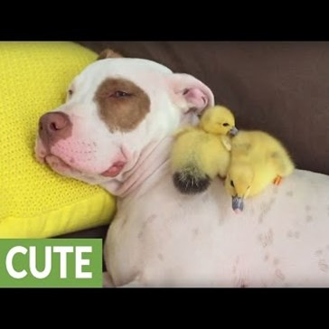 Rescue Pup Lounges With His Foster Ducklings