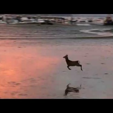 Carefree Deer Hops Across a Beach at Sunrise Much to the Delight of Everyone Watching